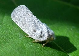 Image of Citrus Flatid Planthopper