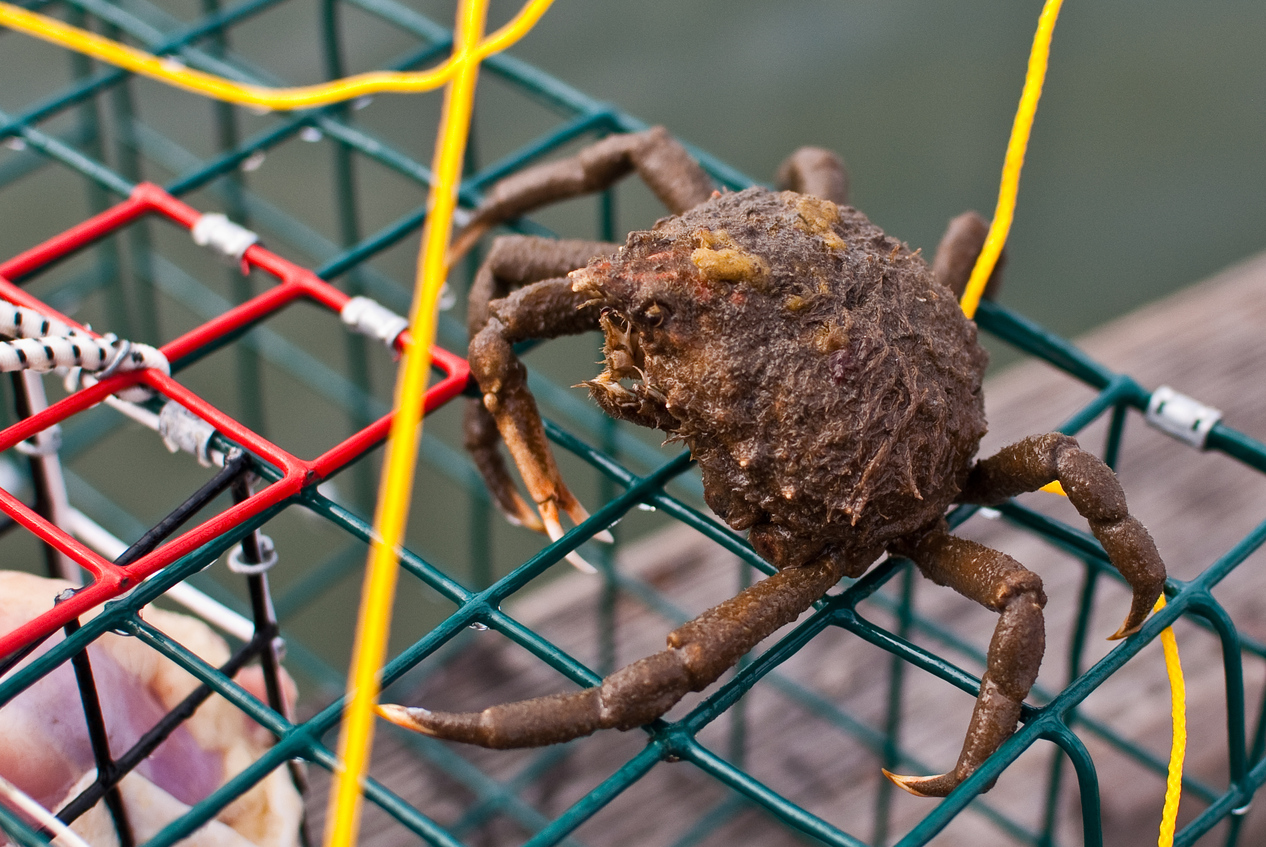 Image of Portly Spider Crab