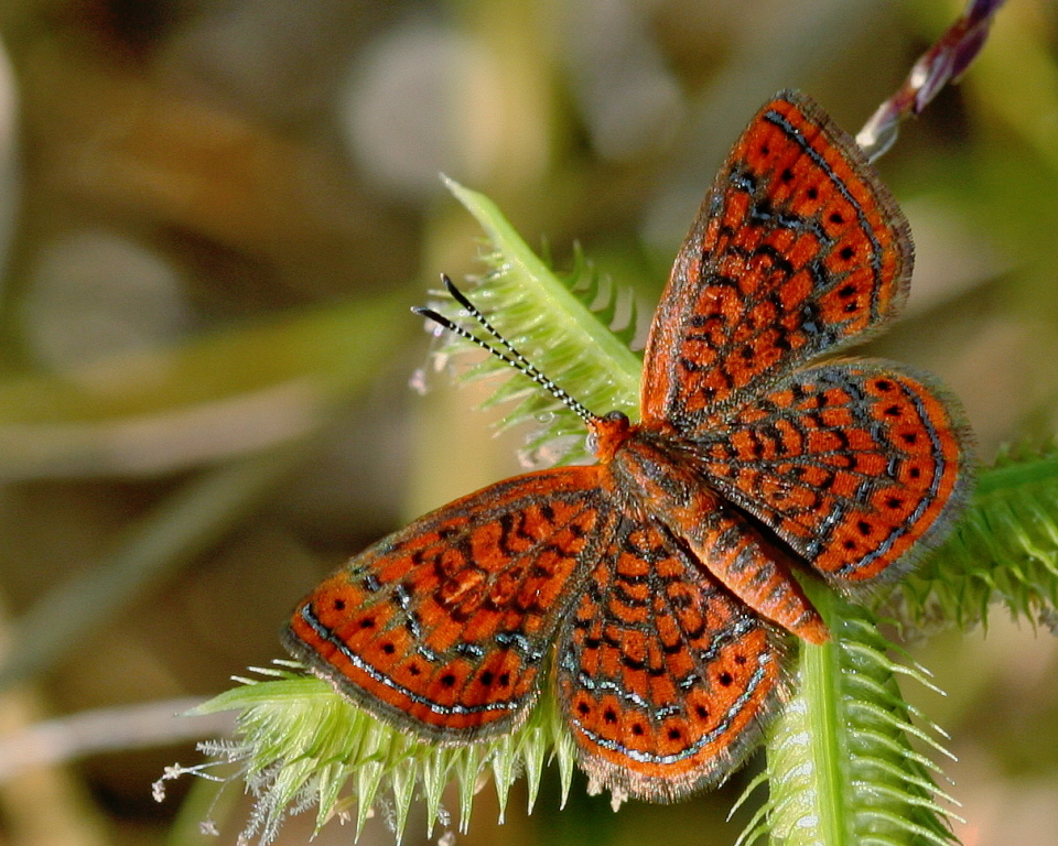 Image of Little Metalmark