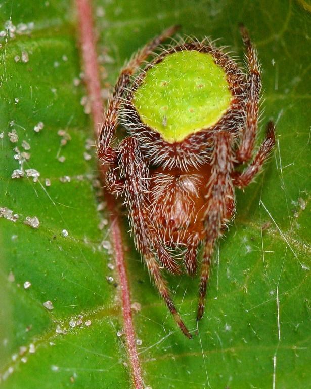 Image of Tropical Orb Weaver