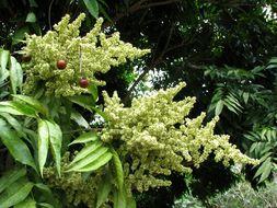 Image of <i>Sapindus <i>saponaria</i></i> var. saponaria