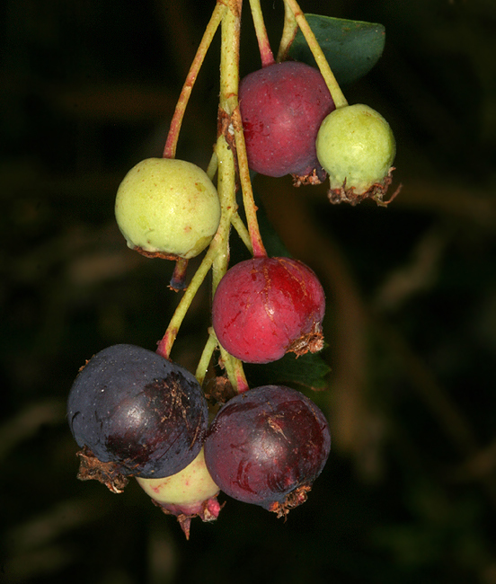 Image of Saskatoon serviceberry