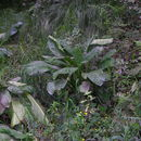 Image of Western Skunk Cabbage