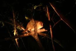 Image of Brown Mouse Lemur