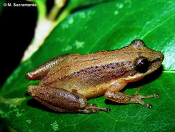 Image of Brown-bordered Snouted Treefrog
