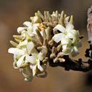 Image of <i>Aspidosperma macrocarpon</i> Mart.