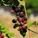 Image of elmleaf blackberry