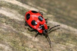 Image of False Ladybird