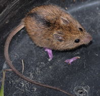 Image of Northern Birch Mouse