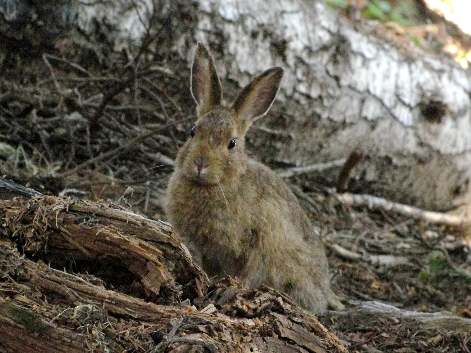 Image of snowshoe hare