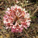 Image of <i>Pterandra pyroidea</i> A. Juss.
