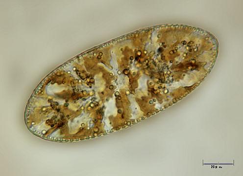 Image of <i>Cymatopleura elliptica</i>