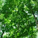 Image of American basswood