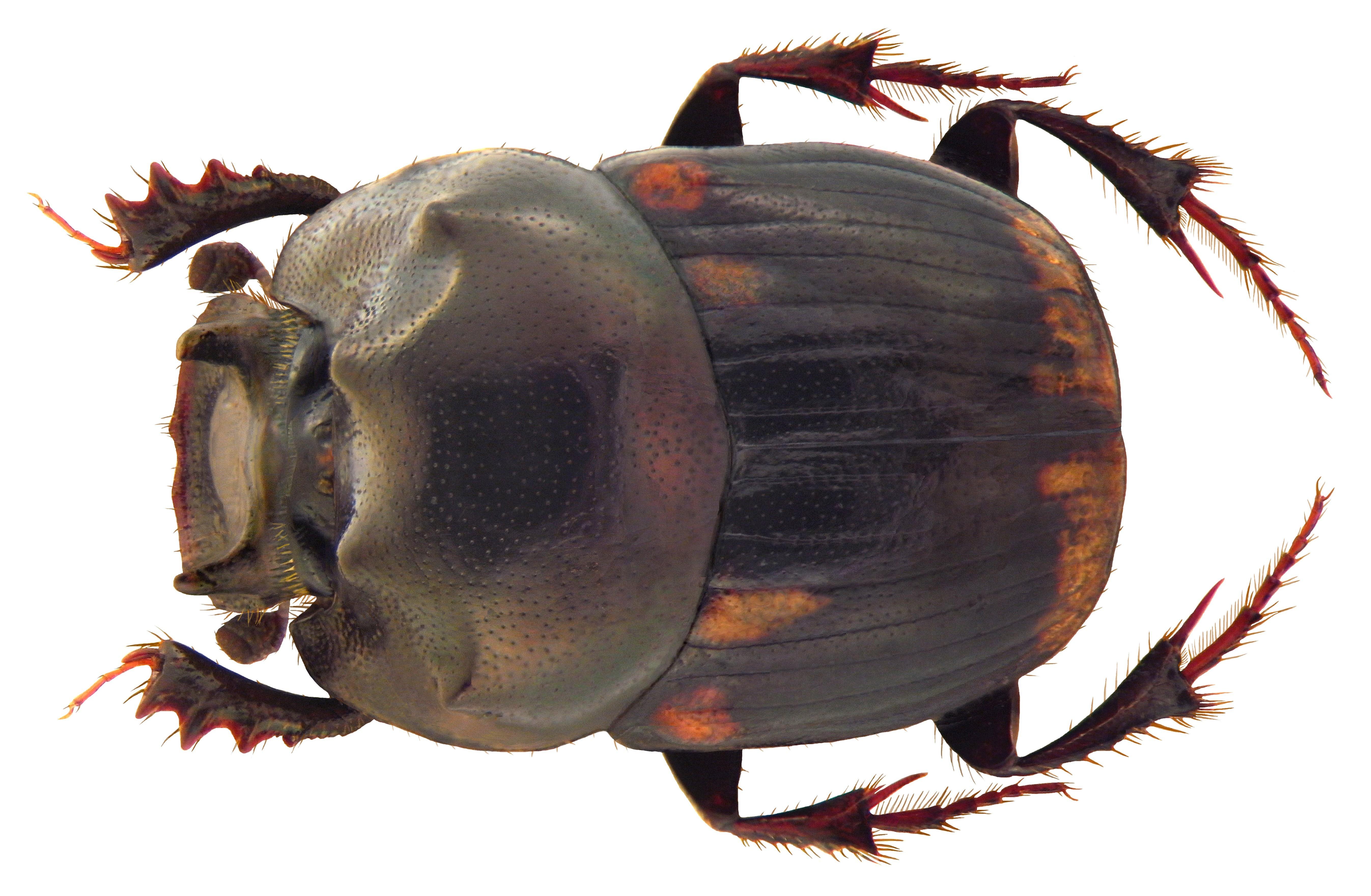 Image of <i><i>Caccobius</i></i> (Caccobius) <i>denticollis</i> Harold 1867