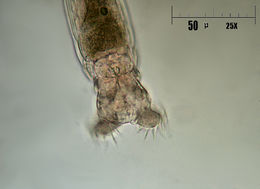 Image of Common Rotifer
