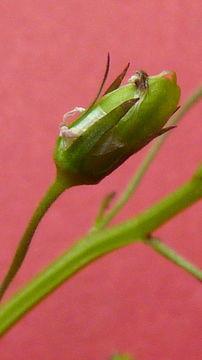 Image of <i>Lobelia xalapensis</i> Kunth
