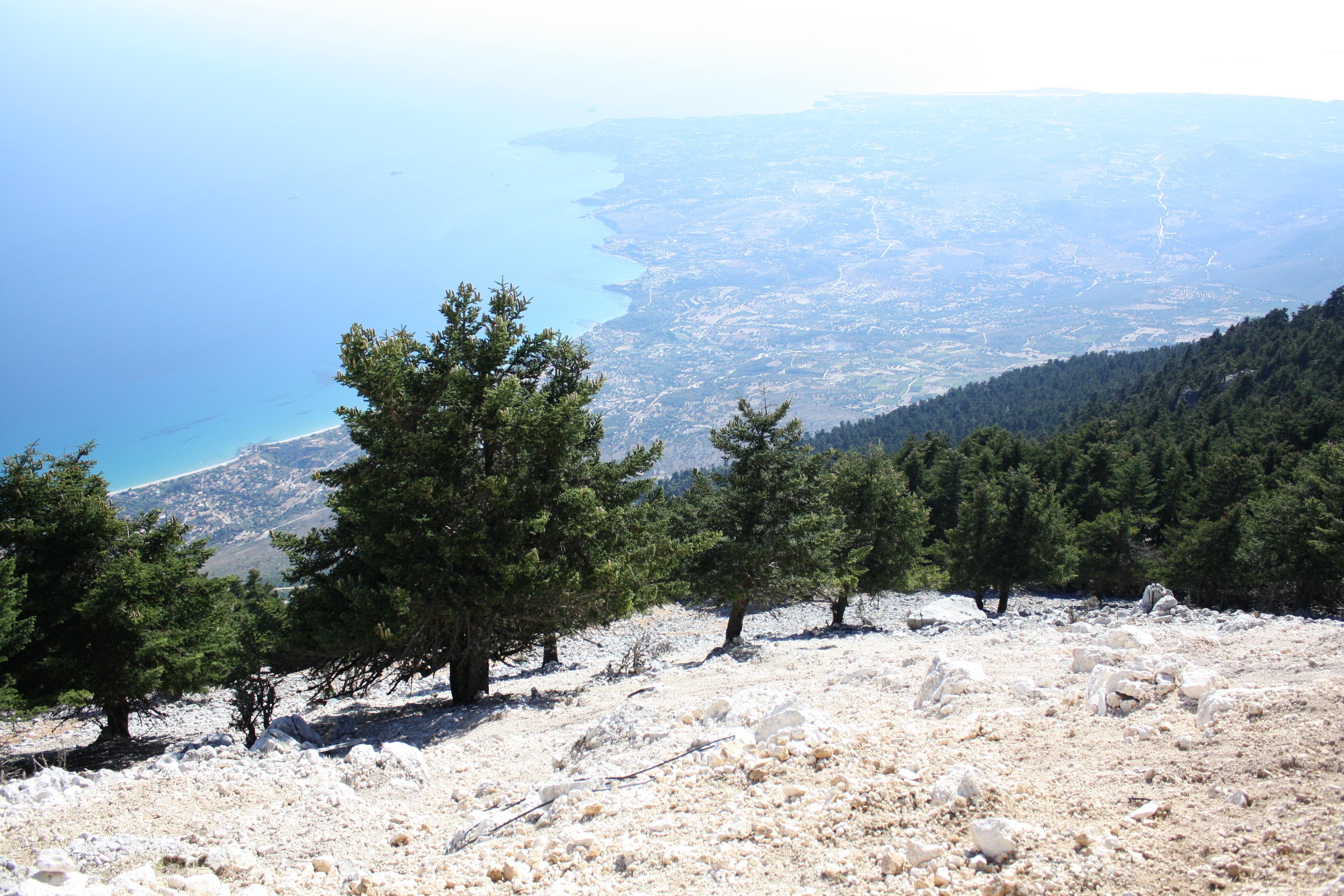 Image of Grecian Fir