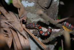 Image of Banded Flying Snake