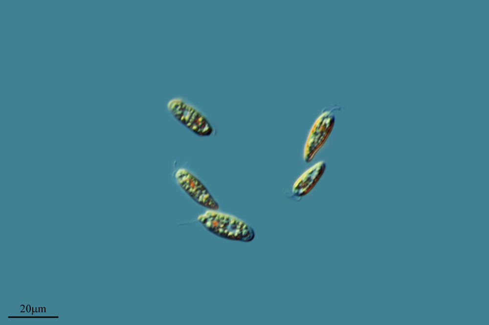 Image of <i>Cryptomonas paramecium</i>