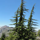 Image of Mountain Hemlock
