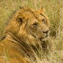 Image of <i>Panthera leo nubica</i> (de Blainville 1843)