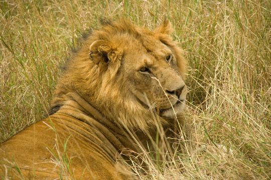 Image of Masai lion