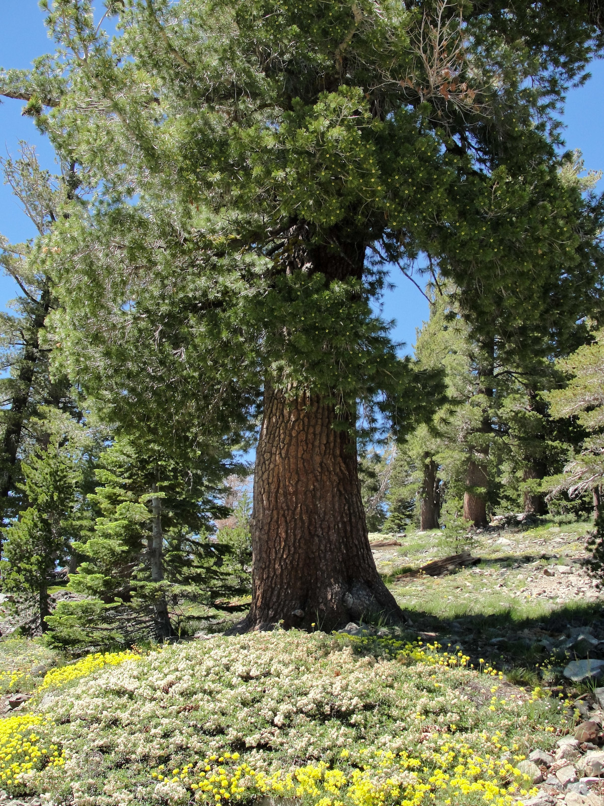 Image of western white pine