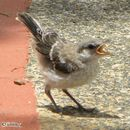 Image of Northern Mockingbird
