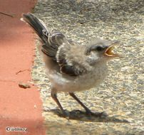 Image of Northern Mockingbird