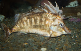 Image of southern pigfish
