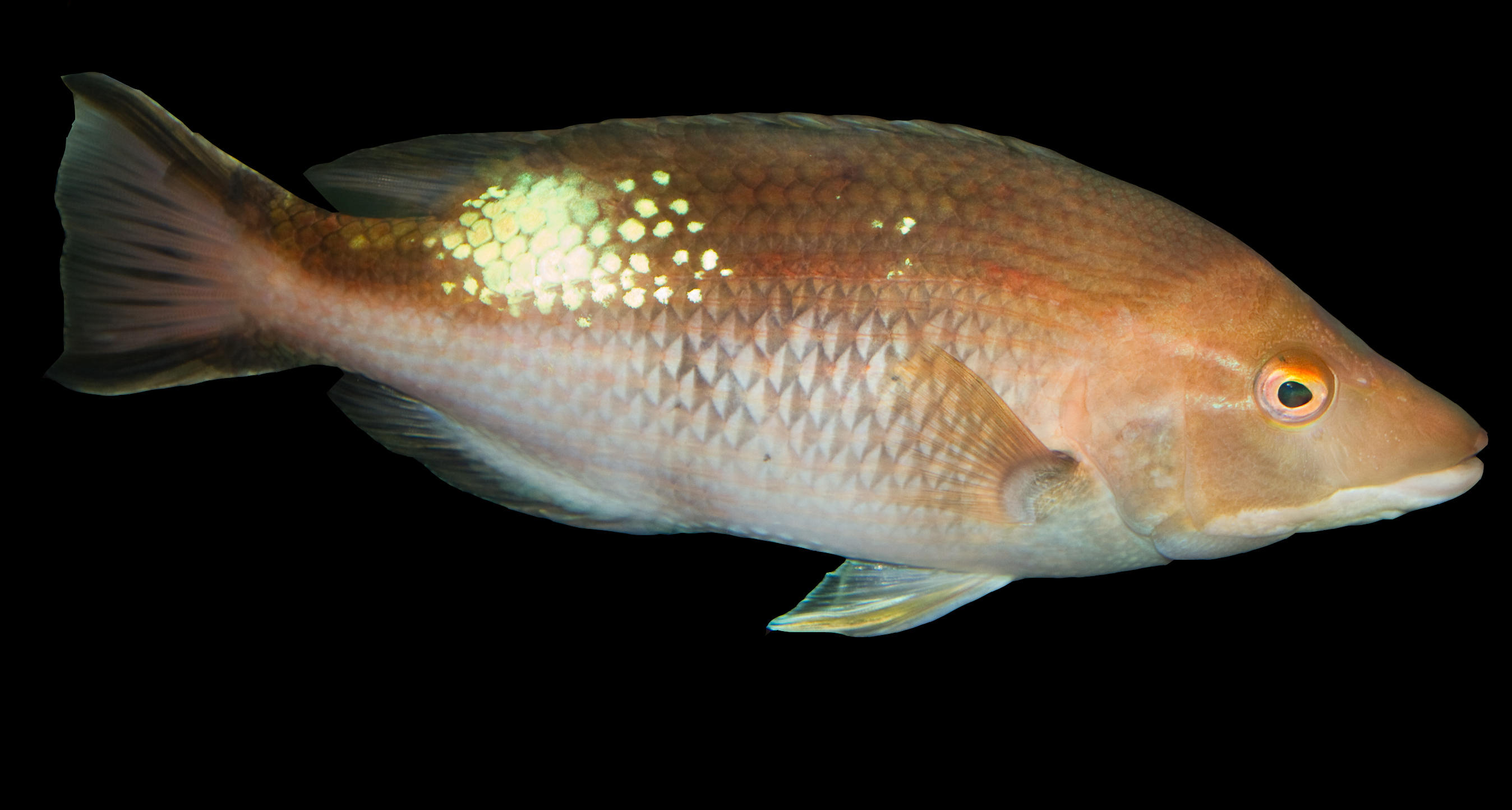 Image of Pigfish