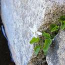 Image of <i>Viola macloskeyi</i> F. E. Lloyd