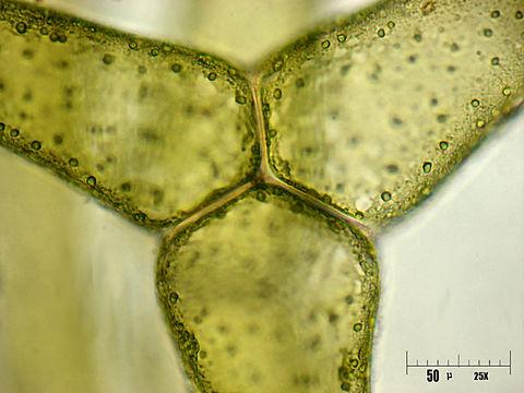 Image of <i>Hydrodictyon reticulatum</i>