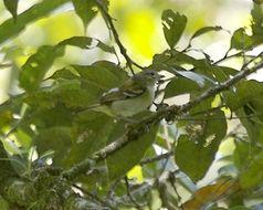 Image of Chestnut-fronted Shrike-Babbler