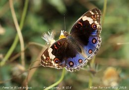 Image of Blue pansy