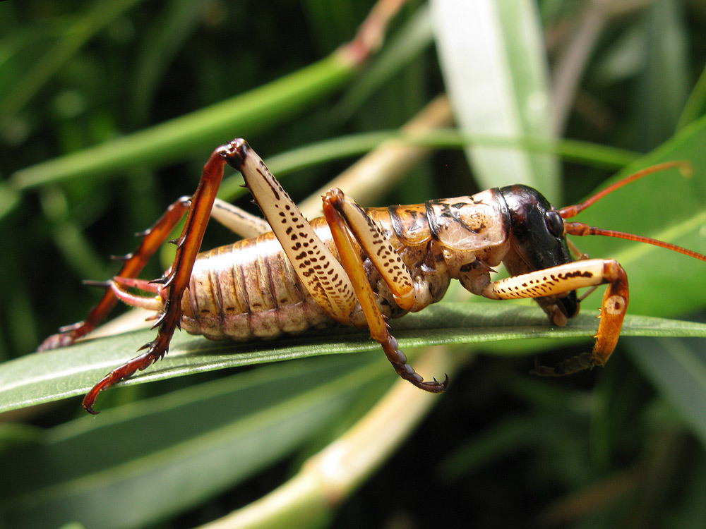 Image of Auckland tree weta
