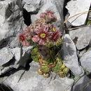 Image of <i>Sempervivum tectorum</i> L.