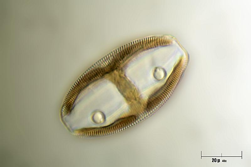 Image of <i>Amphora ovalis</i>