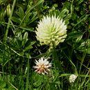 Image of mountain carpet clover