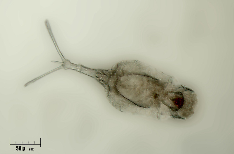 Image of <i>Trichotria pocillum</i> (Müller 1776)