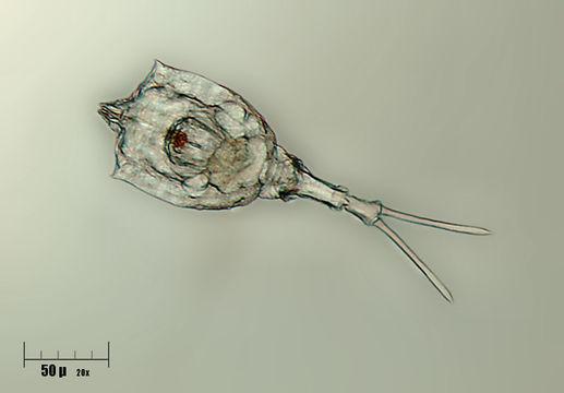 Image of <i>Trichotria tetractis</i> (Ehrenberg 1830)