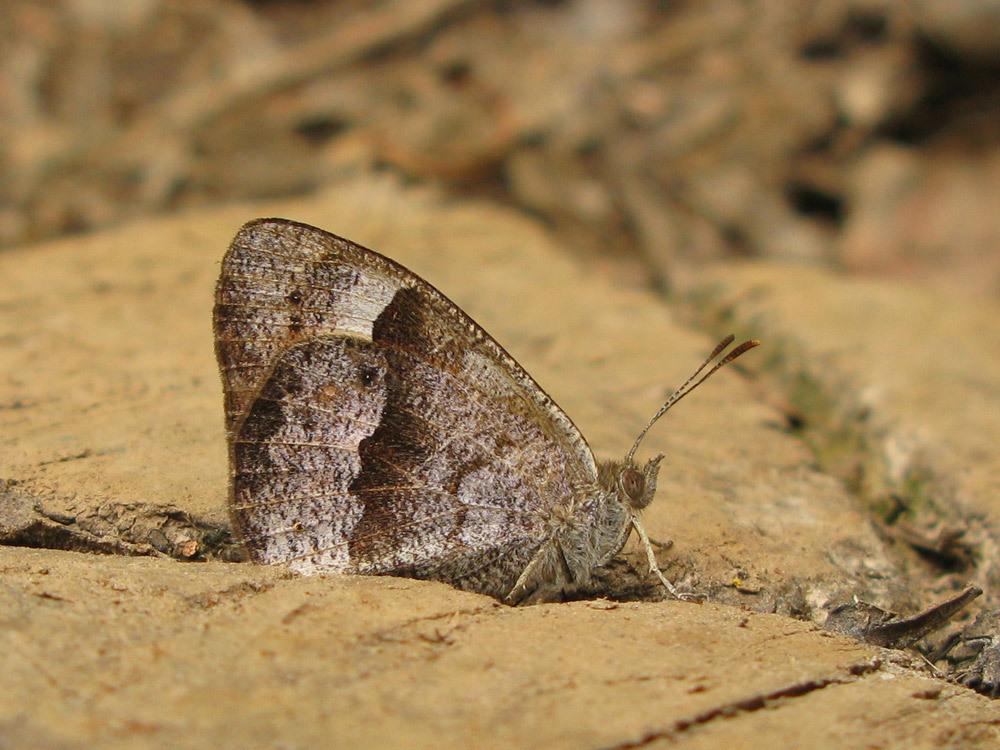 Image of <i>Henotesia fraterna borbonica</i>