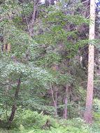 Image of <i>Betula litwinowii</i> Doluch.