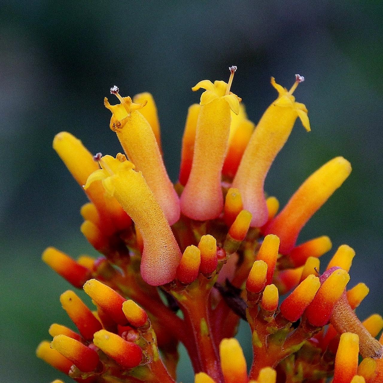 Image of <i>Palicourea rigida</i> Kunth