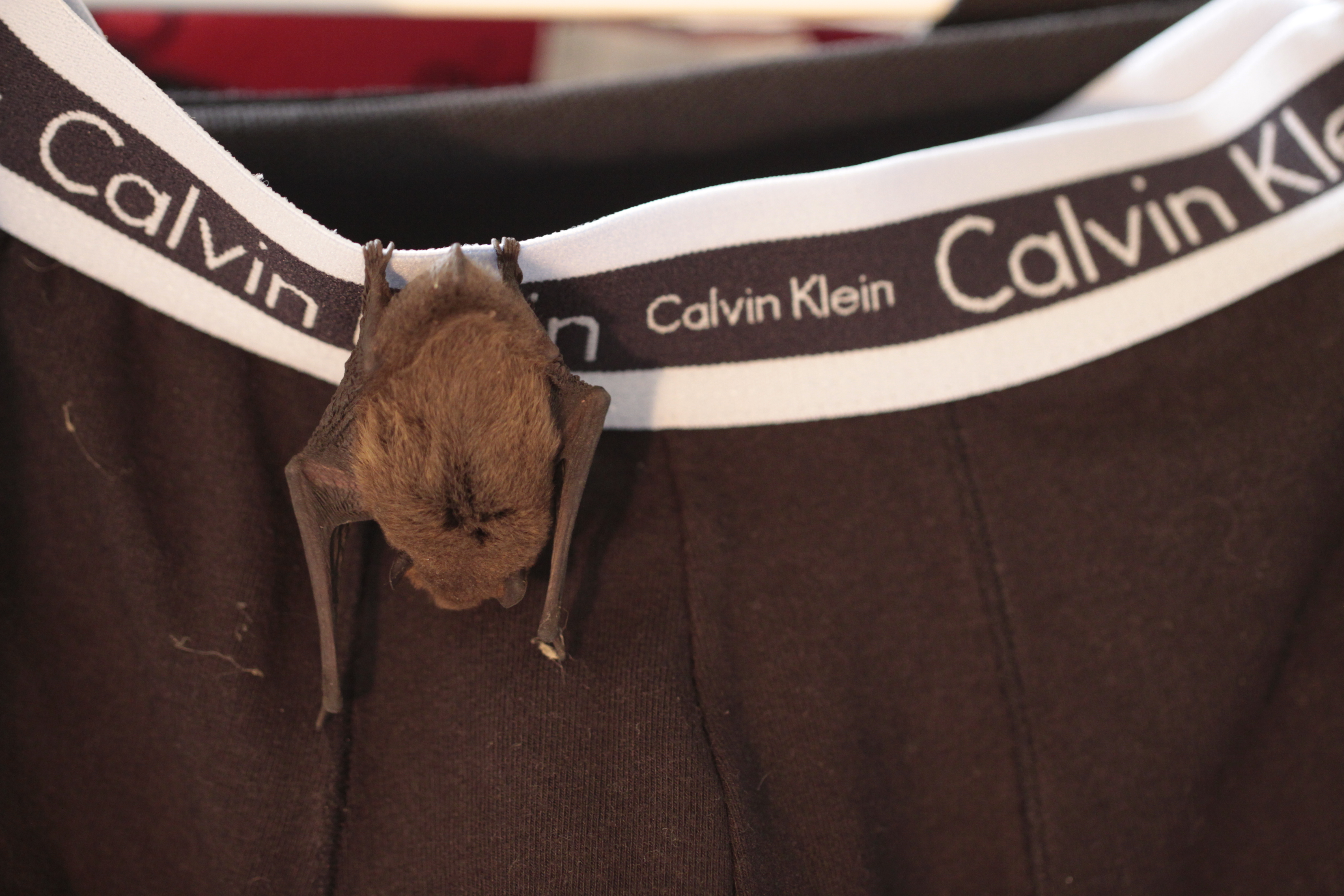 Image of Pipistrelle