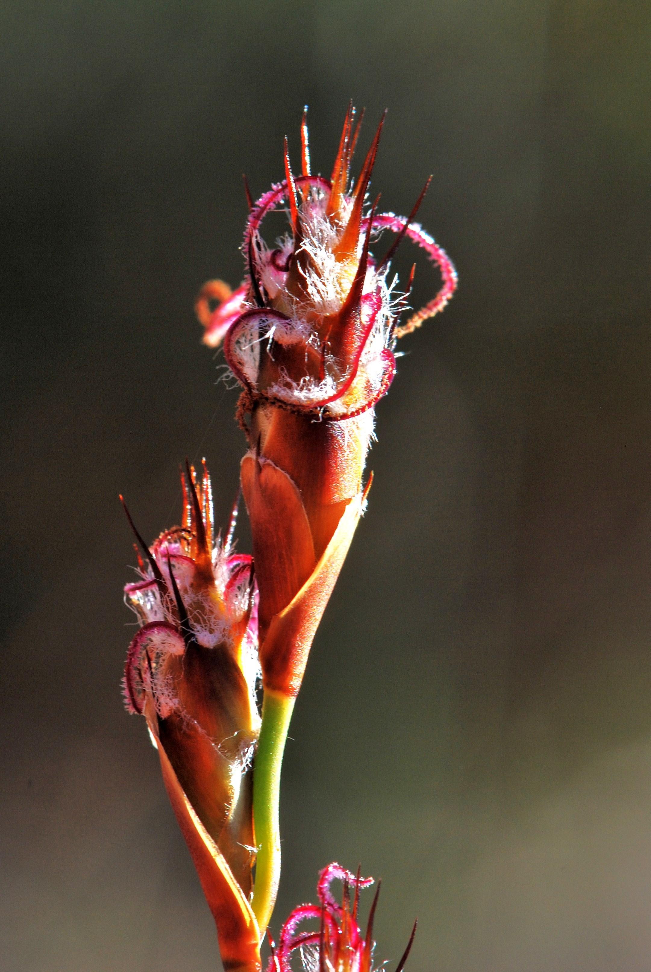 Image of <i>Lepidobolus preissianus</i> Nees