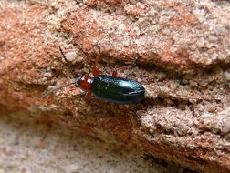 Image of <i>Oulema species</i>