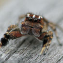 Image of <i>Habronattus agilis</i> (Banks 1893)