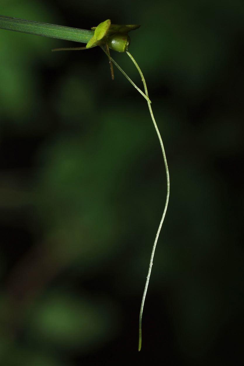 Image of duckweed