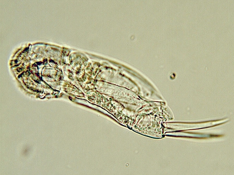 Image of <i>Cephalodella forficata</i> (Ehrenberg 1832)